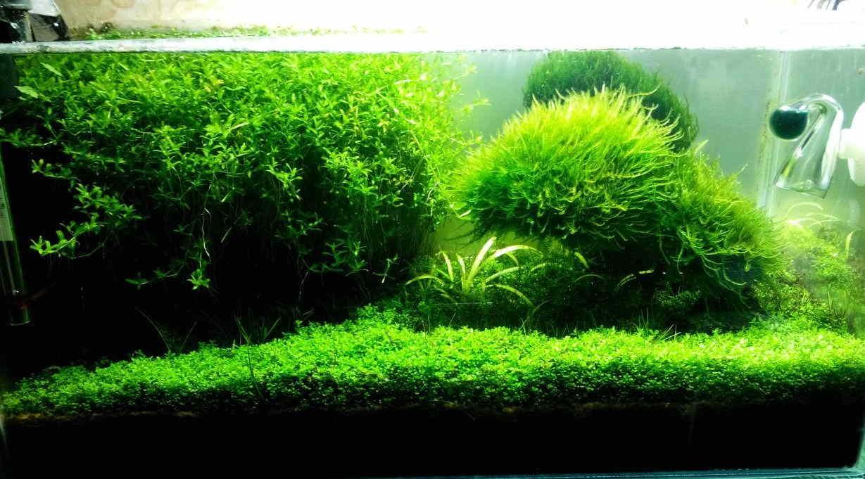 водоросли аквариума