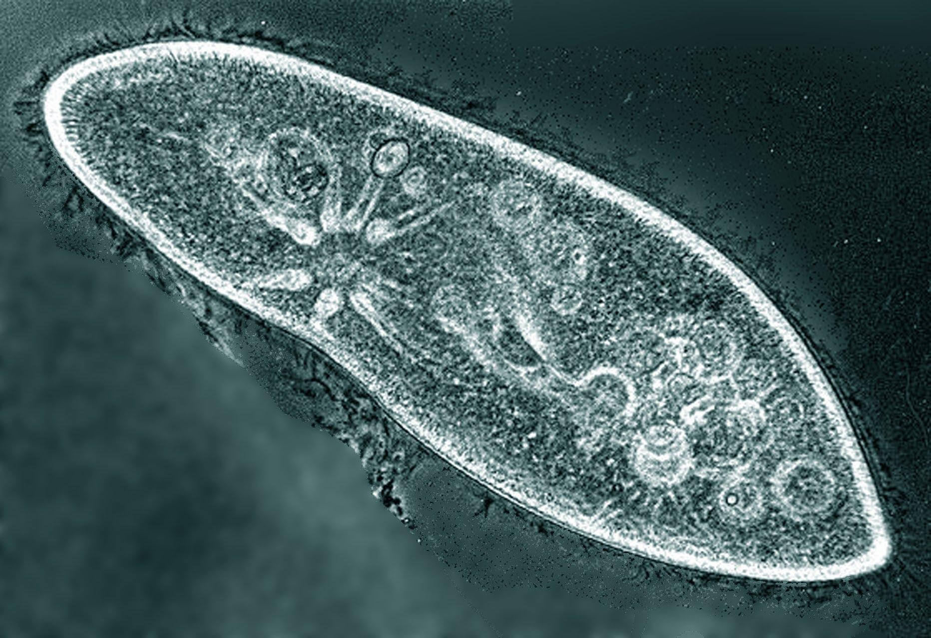 пижма от паразитов отзывы