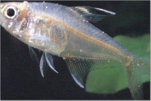 рыбка пораженная белым налетом