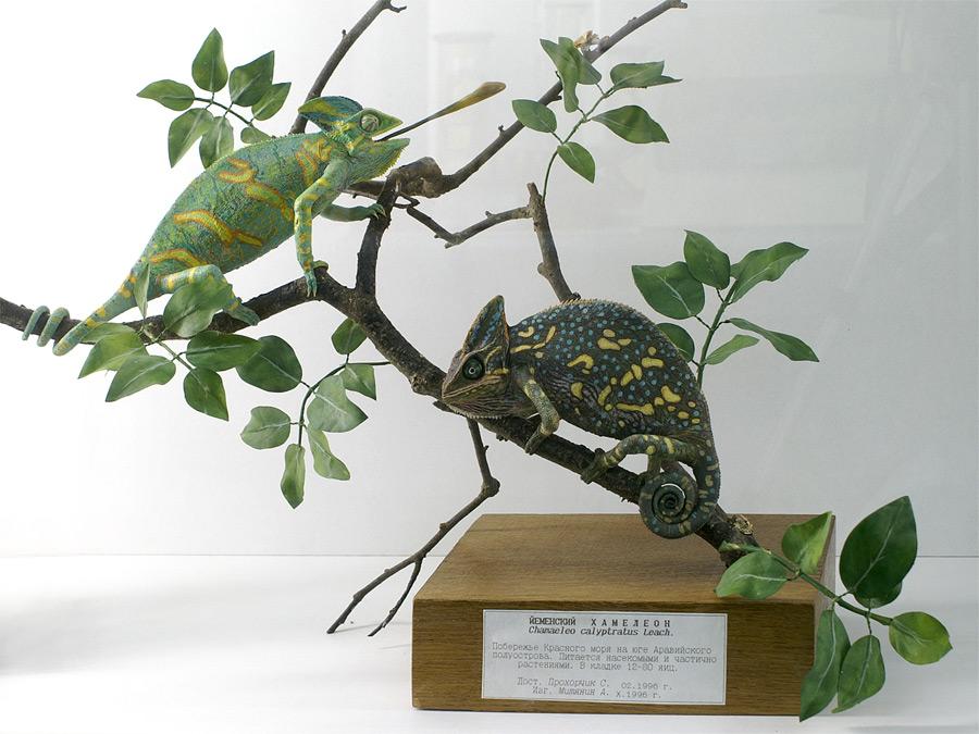 хамелеон самец и самка