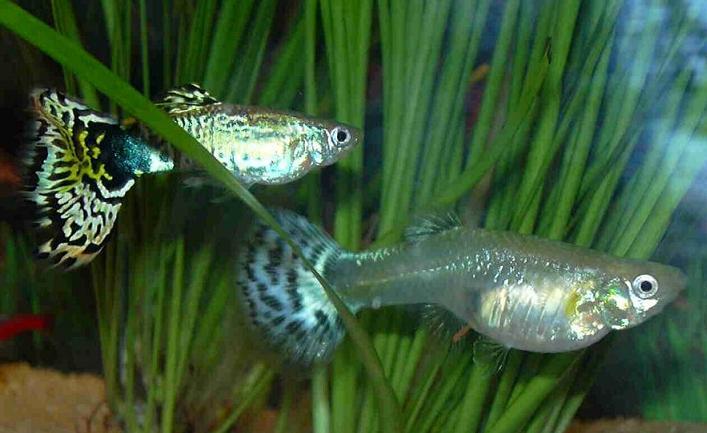 фото рыба гуппи