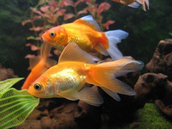золотые рыбки пара