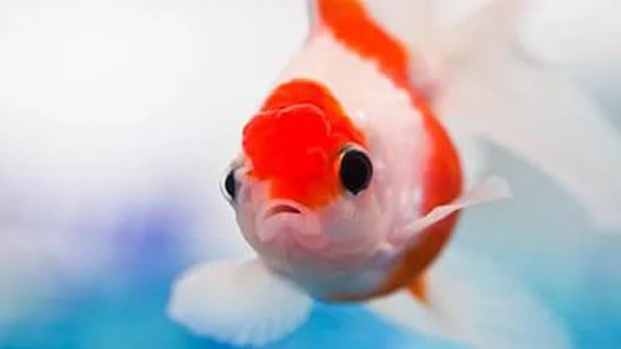 память рыбы