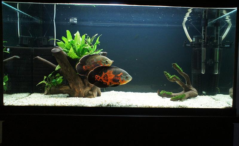 тигровые астронотусы в аквариуме