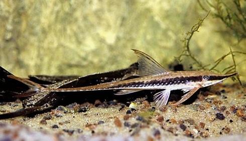 Стурисома Панамская в аквариуме