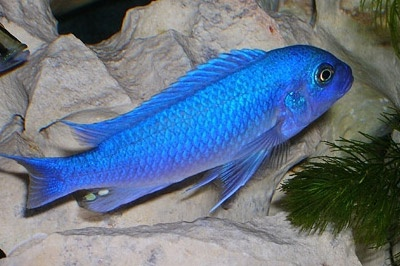 Псевдотрофеус голубой