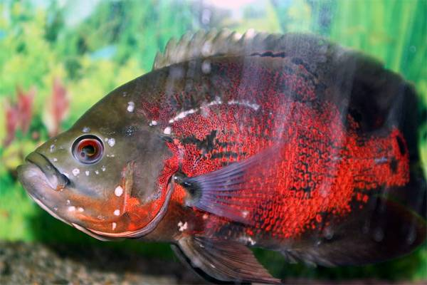 гексамитоз у рыб фото