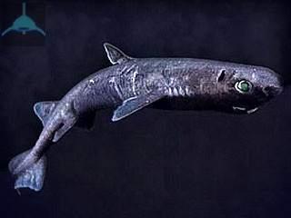 черная акула