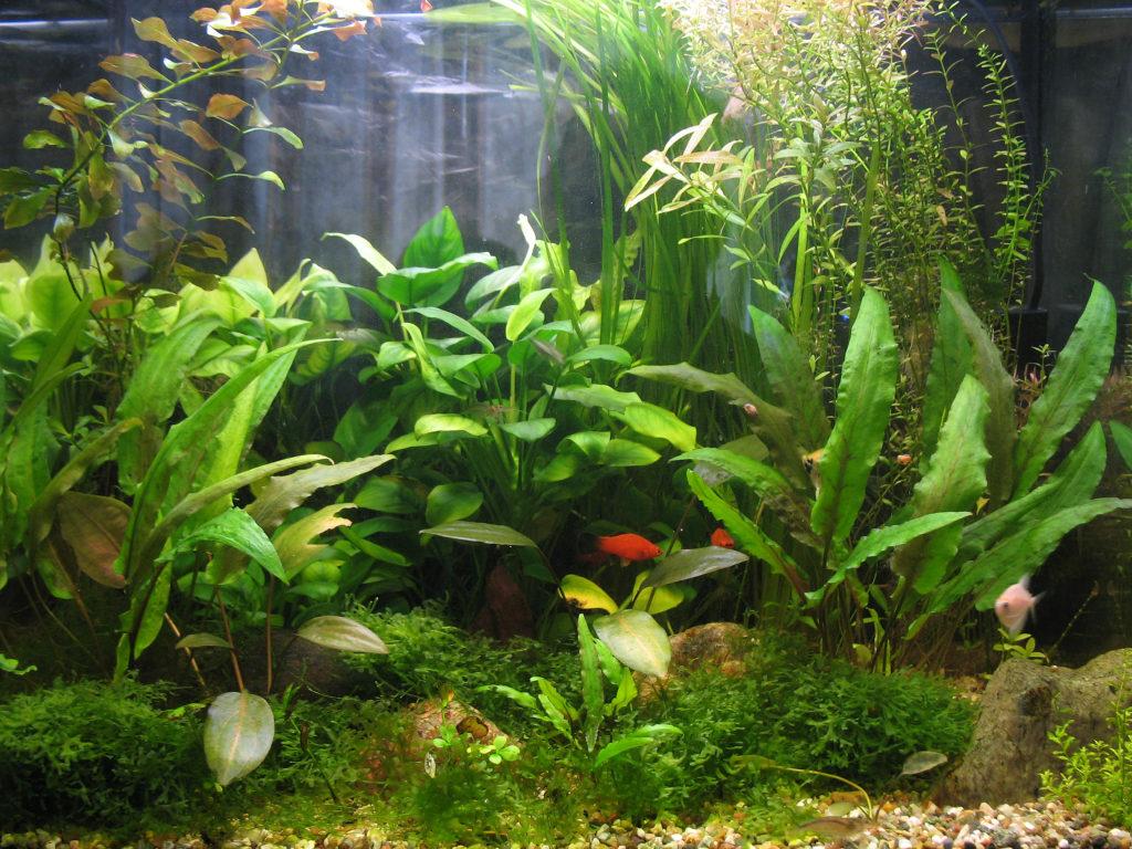 анубиас и рыбки