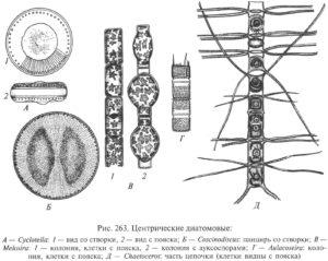 центрические диатомовые