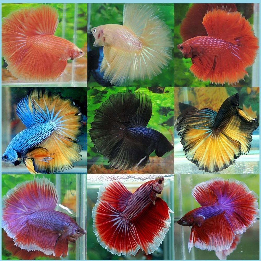 Рыба петушок разновидности