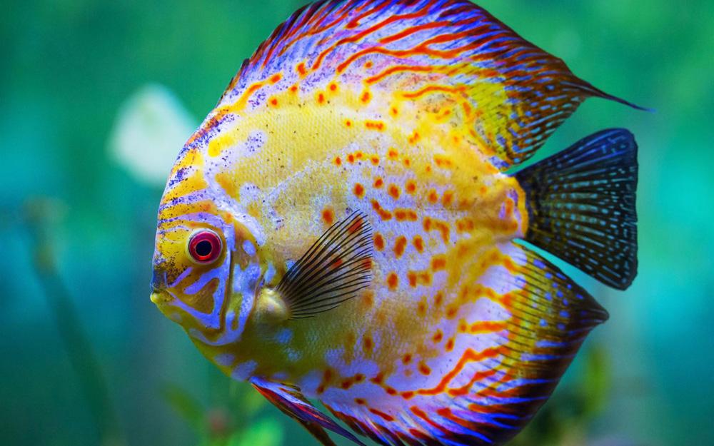Дискус аквариумная рыбка