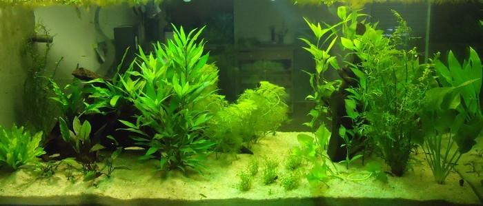эхинодорус-большой-в-аквариуме