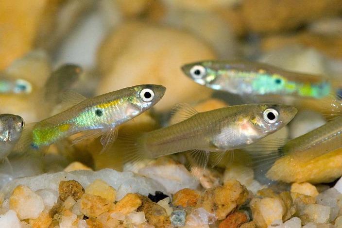 Мальки гуппи в аквариуме