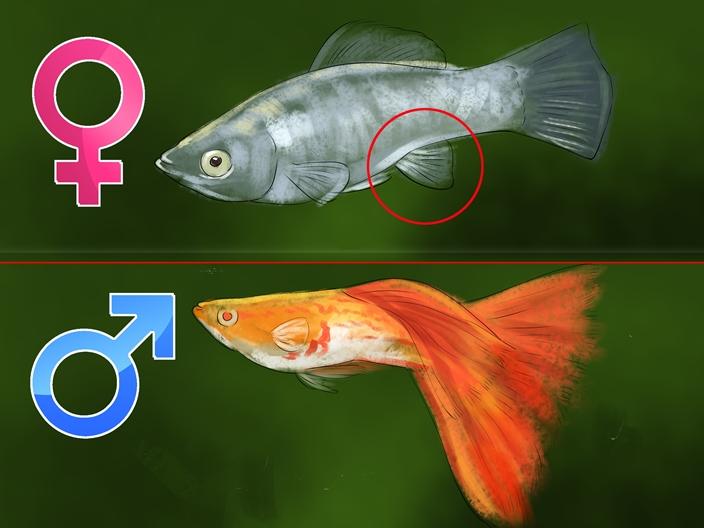 Мальки гуппи как определить пол