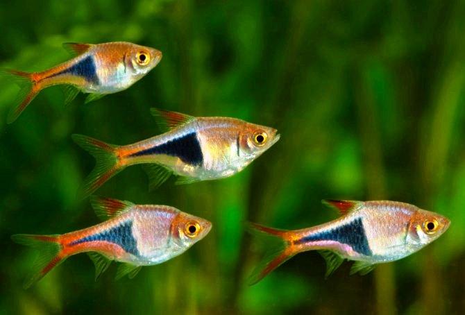 клинопятнистая расбора стая рыбок
