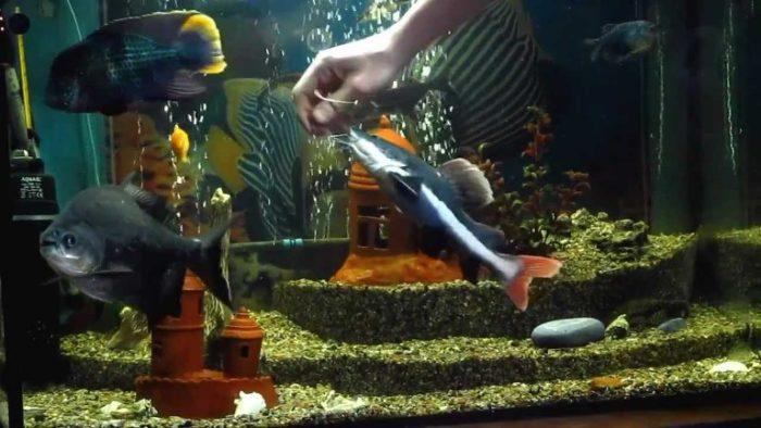 сом краснохвостый в аквариуме