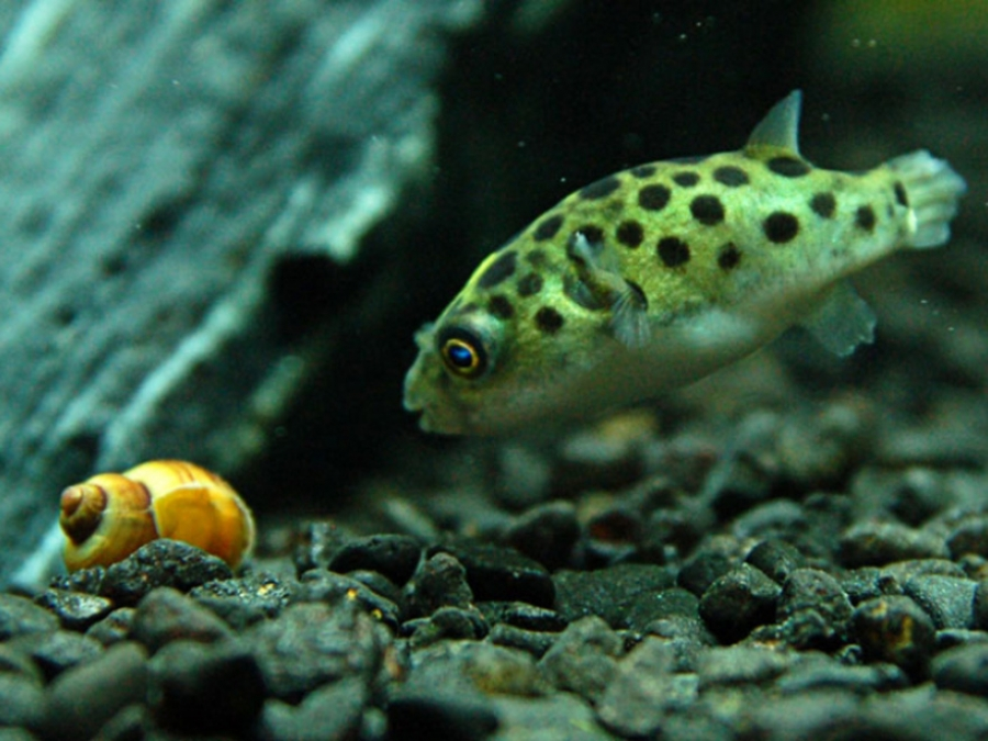 Карликовый тетрадон в аквариуме
