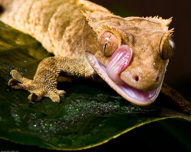 Ресничный геккон-бананоед фото