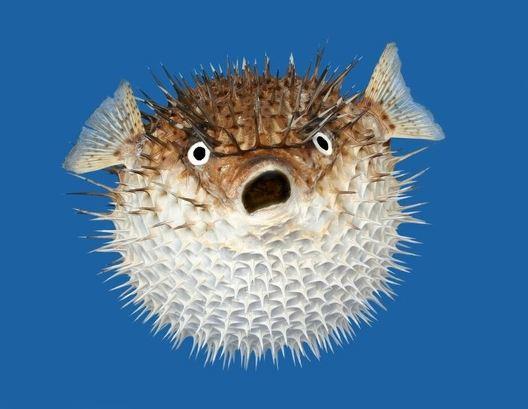 Рыба еж фото