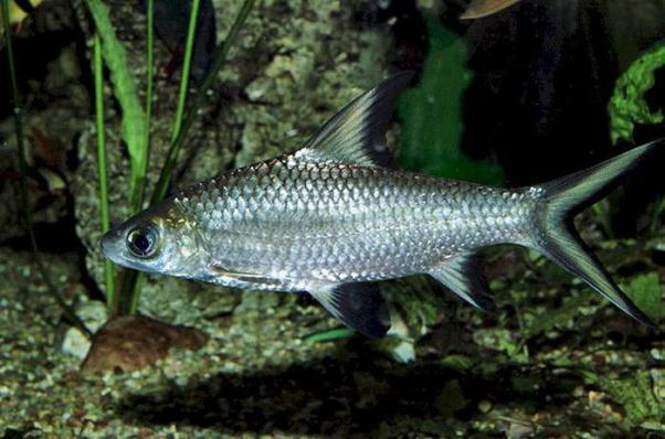 Семейство Ка́рповые (Cyprinidae)