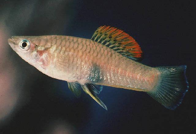 Семейство Пецилиевые, или гамбузиевые (Poeciliidae)