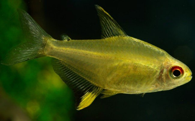Семейство Харациновые (лат. Characidae)