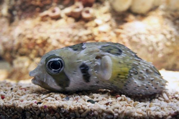 рыба еж в аквариуме