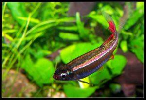 рыбка кардинал в аквариуме