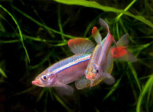рыбка кардинал пара