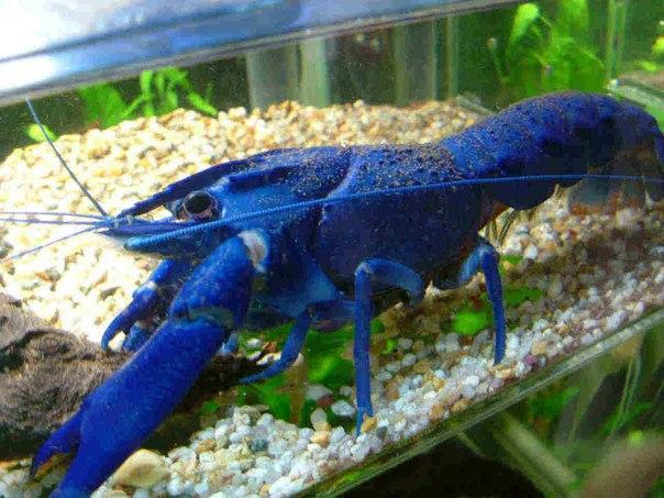 голубой рак в аквариуме