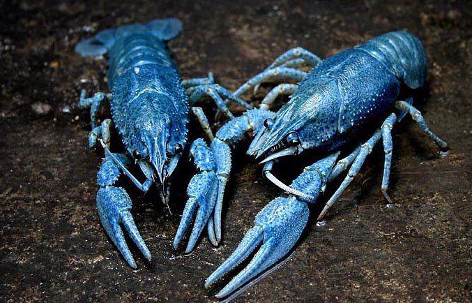 голубой рак пара