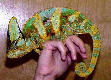 хамелеон на руке
