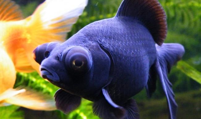рыба телескоп синяя