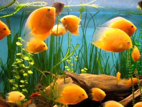 цихлазома в аквариуме