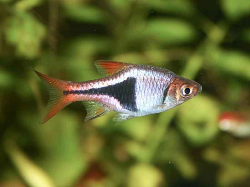 аквариумная рыбка расбора
