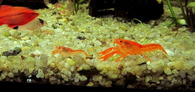 раки в аквариуме