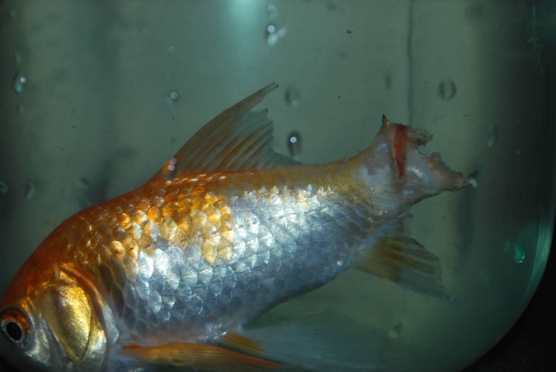 Плавниковая гниль у рыбок - причины и лечение