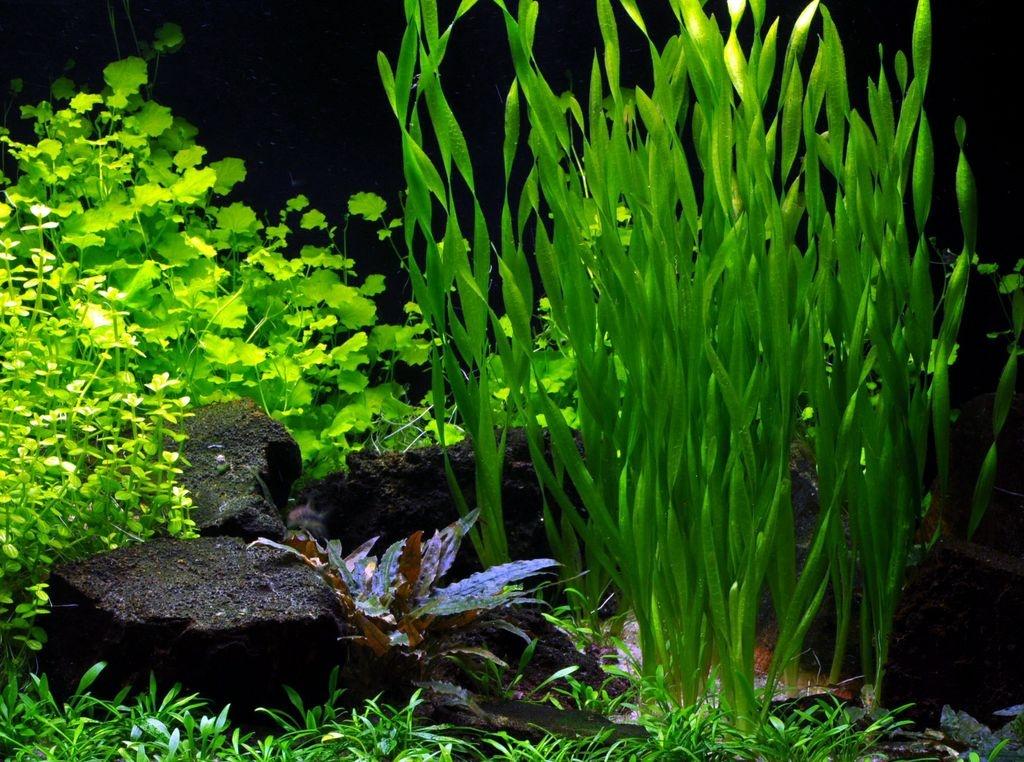 водоросли для аквариума картинки и названия профессиональное