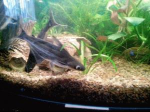 мини акула