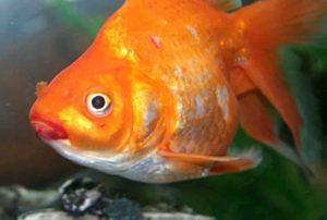 симптомы гексамитоза у рыб