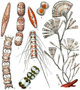 диатомовые водоросли строение