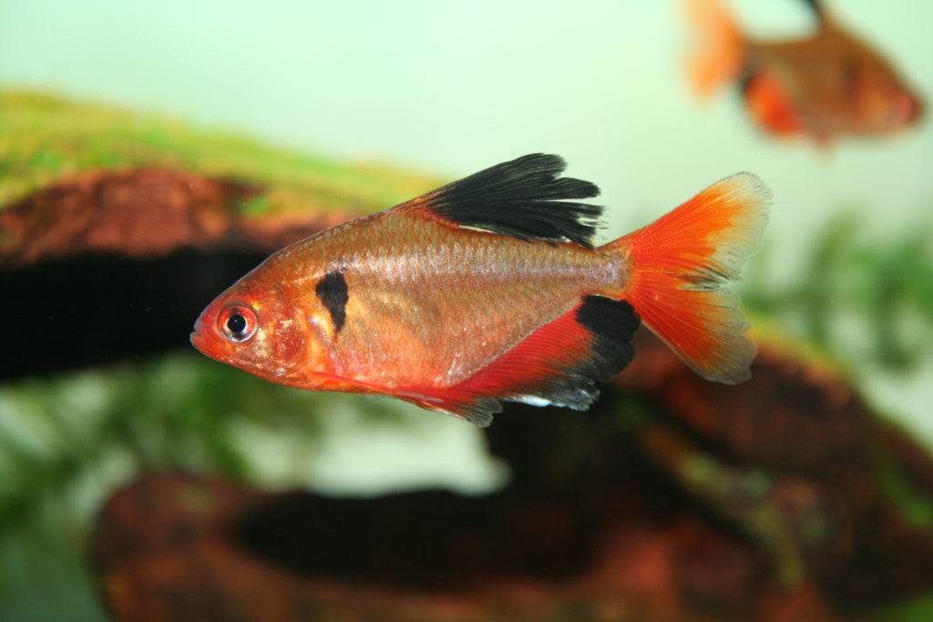 рыба тетра