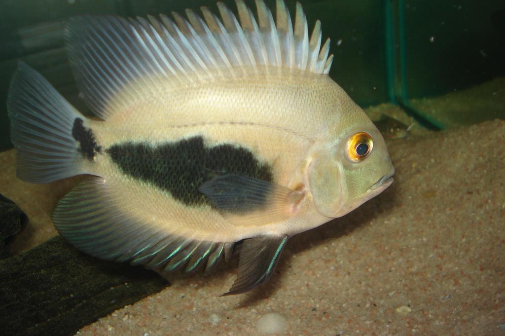 Рыбка уару — советы по содержанию от специалистов Аква-Сто