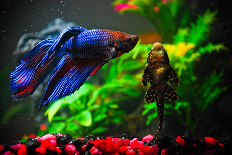 Рыба петушок совместимость с другими рыбками