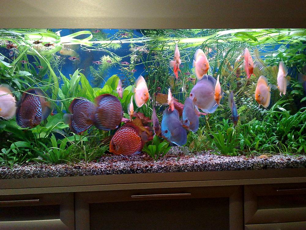 Дискусы в аквариуме