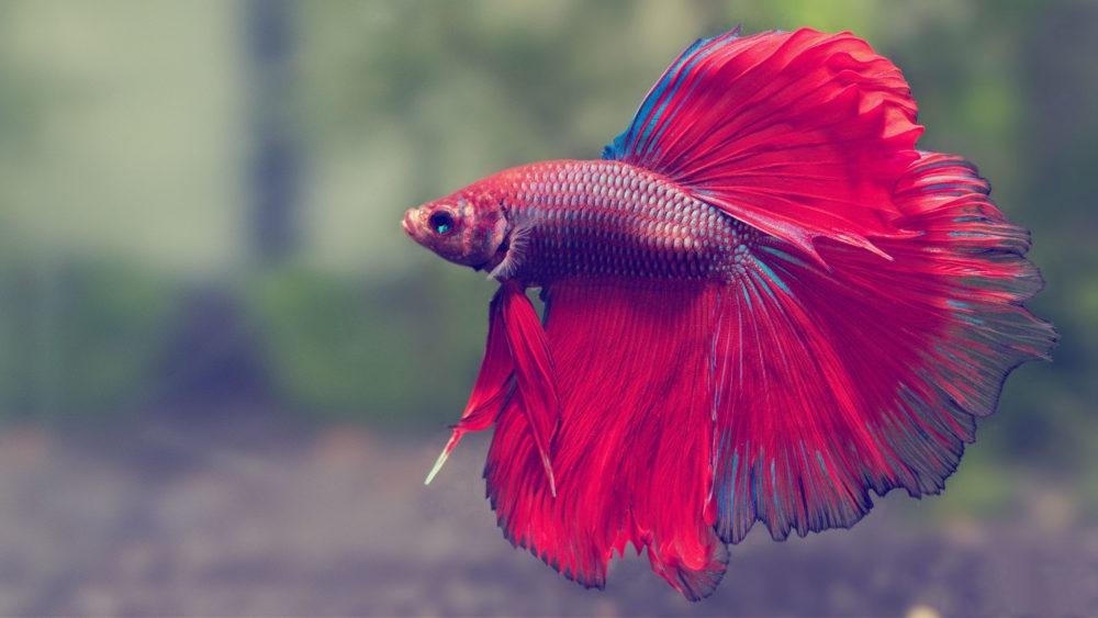 Рыба петушок в аквариуме