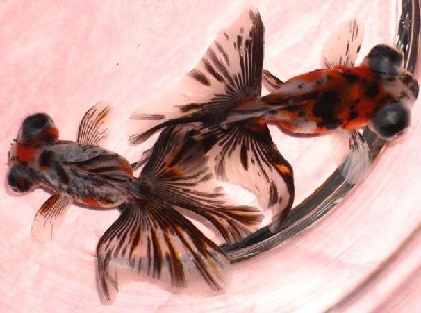 Бабочка дзикин золотая рыбка