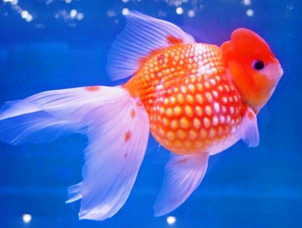 Жемчужинка золотая рыбка