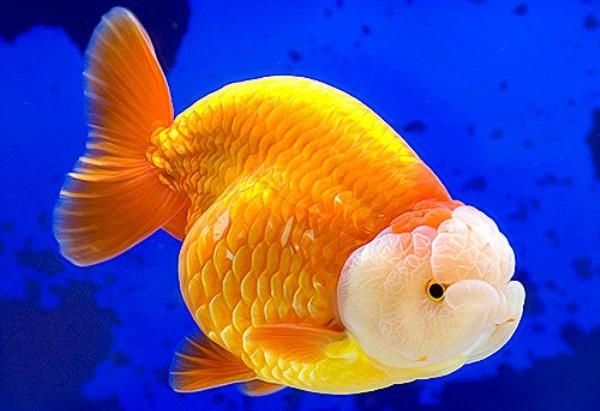 Львиноголовка золотая рыбка